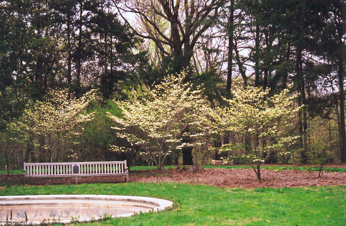 Barton Flowering Dogwood (Cornus florida \'Barton\') in Sycamore ...