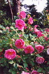 Carefree Beauty Rose (Rosa 'Carefree Beauty') at Blumen Gardens