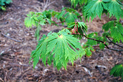 Fullmoon Maple (Acer japonicum) at Blumen Gardens