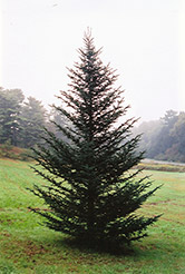 Fraser Fir (Abies fraseri) at Blumen Gardens