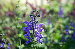 Rhapsody In Blue Meadow Sage (Salvia x superba 'Rhapsody In Blue') at Blumen Gardens