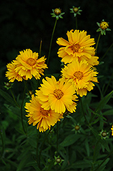 Early Sunrise Tickseed (Coreopsis 'Early Sunrise') at Blumen Gardens