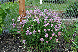 Chives (Allium schoenoprasum) at Blumen Gardens