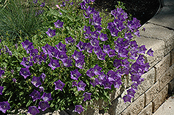 Blue Clips Bellflower (Campanula carpatica 'Blue Clips') at Blumen Gardens