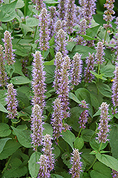 Blue Fortune Anise Hyssop (Agastache 'Blue Fortune') at Blumen Gardens