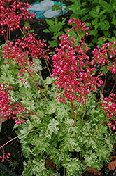 Snow Angel Coral Bells (Heuchera sanguinea 'Snow Angel') at Blumen Gardens