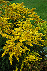 Crown Of Rays Goldenrod (Solidago 'Crown Of Rays') at Blumen Gardens