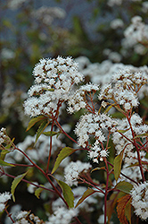 Chocolate Boneset (Eupatorium rugosum 'Chocolate') at Blumen Gardens