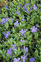 Dart's Blue Periwinkle (Vinca minor 'Dart's Blue') at Blumen Gardens