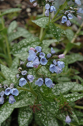 Roy Davidson Lungwort (Pulmonaria 'Roy Davidson') at Blumen Gardens