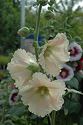 Russian Hollyhock (Alcea rugosa) at Blumen Gardens