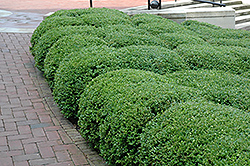 Chicagoland Green Boxwood (Buxus 'Glencoe') at Blumen Gardens