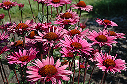 Fatal Attraction Coneflower (Echinacea purpurea 'Fatal Attraction') at Blumen Gardens