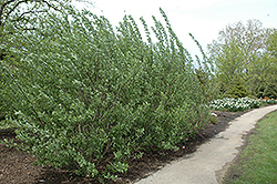 French Pussy Willow (Salix caprea) at Blumen Gardens
