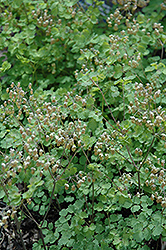 Early Meadow Rue (Thalictrum dioicum) at Blumen Gardens