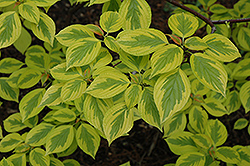 Golden Shadow Pagoda Dogwood (Cornus alternifolia 'Wstackman') at Blumen Gardens