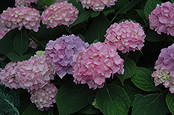 Endless Summer® Hydrangea (Hydrangea macrophylla 'Endless Summer') at Blumen Gardens