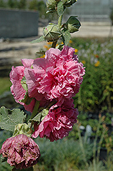 Chater's Double Pink Hollyhock (Alcea rosea 'Chater's Double Pink') at Blumen Gardens