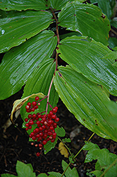 False Solomon's Seal (Smilacina racemosa) at Blumen Gardens