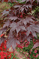 Bloodgood Japanese Maple (Acer palmatum 'Bloodgood') at Blumen Gardens
