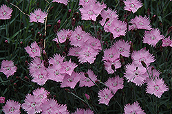 Bath's Pink Pinks (Dianthus 'Bath's Pink') at Blumen Gardens