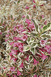 My Monet® Weigela (Weigela florida 'Verweig') at Blumen Gardens
