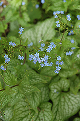 Mr. Morse Bugloss (Brunnera macrophylla 'Mr. Morse') at Blumen Gardens
