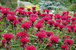 Raspberry Wine Beebalm (Monarda 'Raspberry Wine') at Blumen Gardens