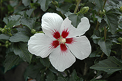 Lil' Kim® Rose of Sharon (Hibiscus syriacus 'Antong Two') at Blumen Gardens