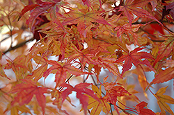 Butterfly Variegated Japanese Maple (Acer palmatum 'Butterfly') at Blumen Gardens