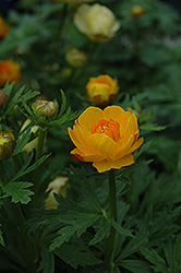 Orange Crest Globeflower (Trollius x cultorum 'Orange Crest') at Blumen Gardens