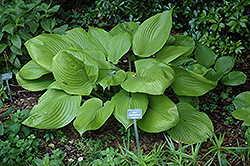 Sum and Substance Hosta (Hosta 'Sum and Substance') at Blumen Gardens