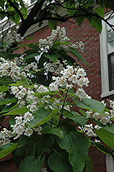 Northern Catalpa (Catalpa speciosa) at Blumen Gardens