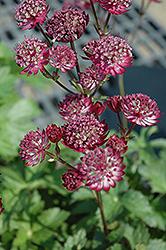 Star Of Fire Masterwort (Astrantia major 'Star Of Fire') at Blumen Gardens