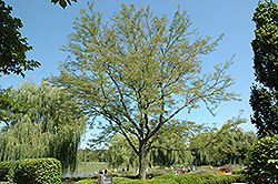 Skyline Honeylocust (Gleditsia triacanthos 'Skycole') at Blumen Gardens