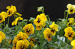 Angel Tiger Eye Pansy (Viola 'Angel Tiger Eye') at Blumen Gardens