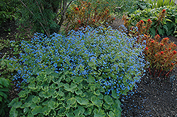 Hadspen Cream Bugloss (Brunnera macrophylla 'Hadspen Cream') at Blumen Gardens