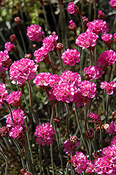 Red-leaved Sea Thrift (Armeria maritima 'Rubrifolia') at Blumen Gardens