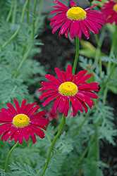 Robinson's Red Painted Daisy (Tanacetum coccineum 'Robinson's Red') at Blumen Gardens