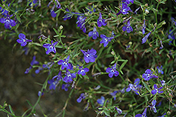 Techno® Heat Dark Blue Lobelia (Lobelia erinus 'Techno Heat Dark Blue') at Blumen Gardens