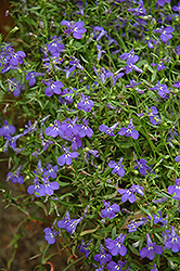 Techno® Heat Blue Lobelia (Lobelia erinus 'Techno Heat Blue') at Blumen Gardens