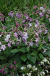 Perfume Purple Flowering Tobacco (Nicotiana 'Perfume Purple') at Blumen Gardens