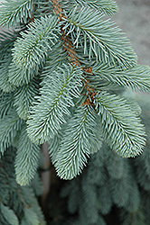 The Blues Colorado Blue Spruce (Picea pungens 'The Blues') at Blumen Gardens