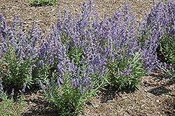 Lacey Blue Russian Sage (Perovskia atriplicifolia 'Lacey Blue') at Blumen Gardens