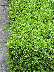 Green Velvet Boxwood (Buxus 'Green Velvet') at Blumen Gardens