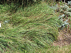 Blue Sedge (Carex flacca) at Blumen Gardens