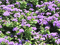 Hawaii Blue Flossflower (Ageratum 'Hawaii Blue') at Blumen Gardens