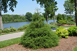 Soft Serve® Falsecypress (Chamaecyparis pisifera 'Dow Whiting') at Blumen Gardens