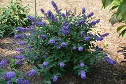 Lo And Behold® Blue Chip Dwarf Butterfly Bush (Buddleia 'Lo And Behold Blue Chip') at Blumen Gardens