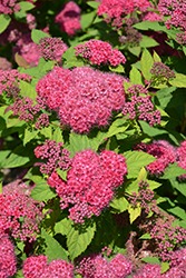 Double Play® Red Spirea (Spiraea japonica 'SMNSJMFR') at Blumen Gardens